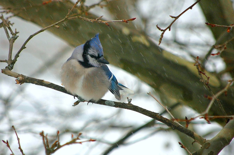 blue jay, snow, snow bird, winter, snow storm, bird watching